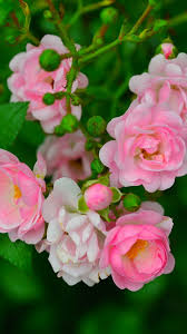 Some pink roses, green leaves, spring ...
