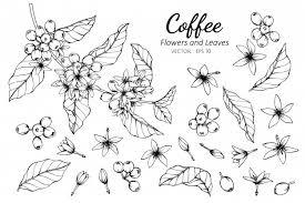 コーヒーの花と葉のイラストのコレクションセット ベクター画像