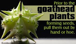 goat head weed killer. Perfect Killer On Goat Head Weed Killer A