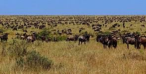 desertification wildebeest in masai mara during the great migration overgrazing is not caused by nomadic grazers in huge populations of travel herds nor by holistic