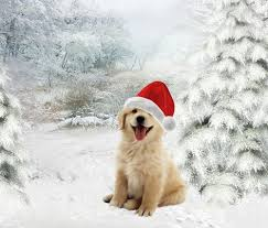 golden retriever puppies playing in snow.  Snow GMA Puppies In The Snow Viral Video U0026 David Axelrod Mustache Shave And Golden Retriever Playing In N