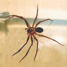 Brown Recluse Spider Locations Range Where Do They Live