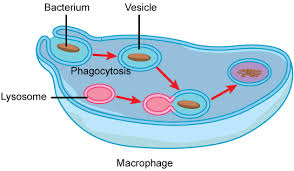 Bacteria Animal And Plant Cell Venn Diagram Animal Cells Versus Plant Cells Biology For Non Majors I
