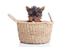 teacup puppy yorkie. Simple Yorkie The Truth About Teacup Yorkies Everything You Need To Know Teacup  Mini Micro And Toy Yorkshire Terriers On Puppy Yorkie E