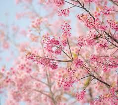 Bunga Sakura Bunga Sakura