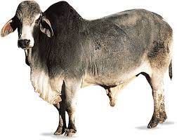 May 31, 2021 · the gir cattle is a famous dairy cattle breed originating in india. Brahman Cattle Britannica