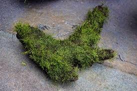 carpet moss. 4c6be9929231e.jpg carpet moss
