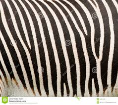 Zebra Patterns Fascinating Abstract Zebra Patterns Stock Image Image Of Dizziness 48