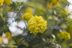 The marigold is probably the most well known plant for repelling insects.  These colorful flower