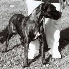 Cane Corso Weight Chart Pounds Cane Corso Dog Breed Information