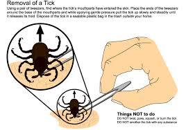 Image result for tick pics