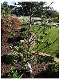 dogwood tree half dead