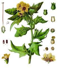 Hyoscyamus niger - Wikipedia