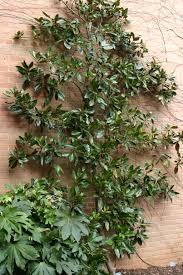 informal green wall indoors. Magnolia Grandiflora \u0027 Informal Green Wall Indoors