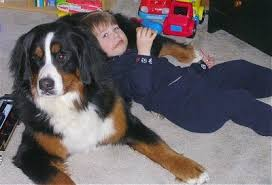 Bernese Mountain Dog Breed Information And Pictures