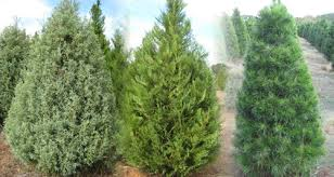 Jacks Creek Farms Christmas Trees