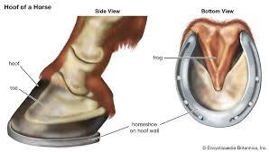 Hoof Anatomy Britannica