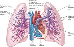 chapter thorax essay medicine and health articles p on pleural  lung parenchyma anatomy chapter thorax essay medicine and health articles p on pleural cavity