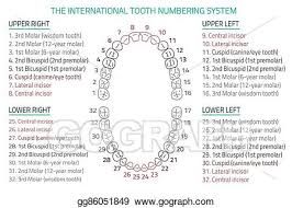 Dental Numbering Chart Vector Stock Teeth Infographic Stock Clip Art Gg86051849
