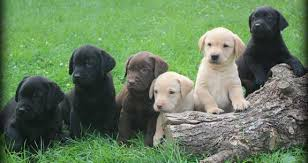 black chocolate yellow lab puppies jpg
