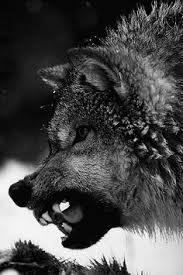 WOLVES on Pinterest | Angry Wolf, Insanity Wolf and Insanity Wolf Meme via Relatably.com