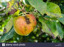 an apple with apple scab grows on an apple tree in a back garden
