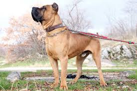 Presa Canario Weight Chart Presa Canario Dog Breed Everything About Presa Canario