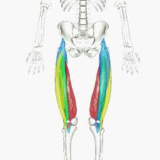 quadriceps femoris muscle wikipedia