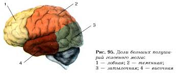 Функции переднего мозга Гипермаркет знаний Доли полушарий головного мозга
