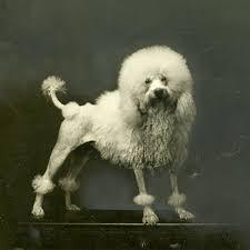 Poodle Dog Breed Information