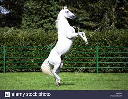 white horse rearing. Contemporary Horse A White Horse Rearing On A Paddock Cologne Germany  Stock Image Throughout White Horse Rearing