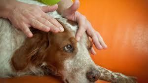 Reflexology For Dogs Canine Reflexology Lone Sorensen