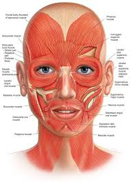 face anatomy facial muscles gallery human anatomy organs diagram