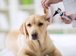 Natural Treatments for Ear Infections in Dogs | petMD
