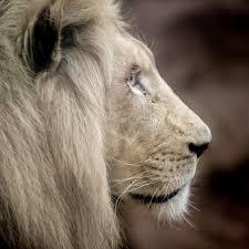 white lion with blue eyes wallpaper 3d.  Blue Lion White Big Cat Mane Eyes In Lion With Blue Wallpaper 3d L
