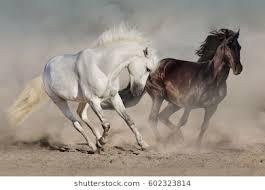 white horses running. Delighful White White And Black Horses Run Gallop In Dust For Horses Running H