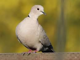 Eurasian Collared Dove Identification All About Birds