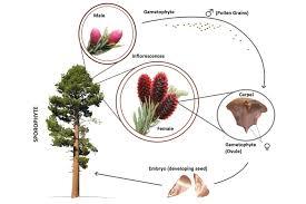 Angiosperm Vs Gymnosperm Venn Diagram Gymnosperms Definition Examples And Reproduction
