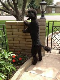 best dog essay ideas english help examples of  noah hey what s going on over there my black stanard poodle sasha used to do the same thing she was even groomed in a similair cut