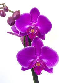 Resultado de imagen para orquidea mariposa