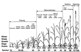 Wheat Growth Chart 3 Zadoks Growth Stages Of Winter Wheat Adapted From Alley