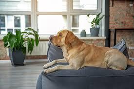 Labrador Hip Score And Rating Faqs Labradorretrieverguide Com