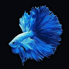 Logo Ikan Cupang Halfmoon