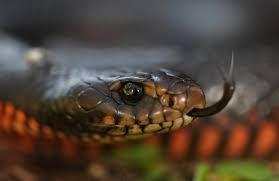 Red Bellied Black Snake The Australian Museum