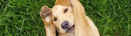a mordor gun dog yellow pup