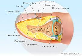 Fingernail Anatomy Picture Image On Medicinenet Com