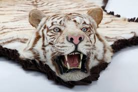 sweetlooking white tiger skin rug real with head designs
