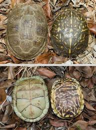 arkansas box turtle species box