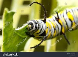 Yellow Caterpillar Identification Chart Worm Caterpillar Common Tiger Danaus Genutia Stock Photo