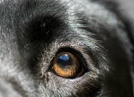 Eye Inflammation in Dogs | petMD